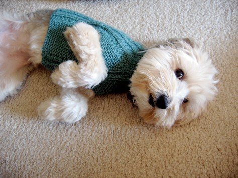 Photo of Miss BB (my dog) in a sweater I knit