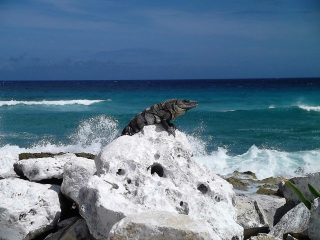 Cozumel My Cozumel east side iguana