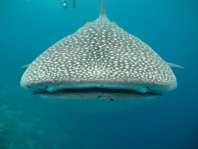 Cozumel My Cozumel Whale Shark Tour