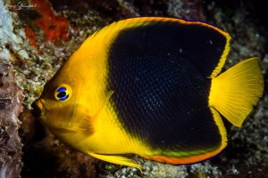 Cozumel diving with Angelfish