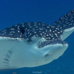 Diving in Cozumel with eagle rays