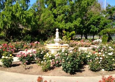 daily walk through the rose garden