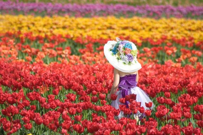Фестивали тюльпанов