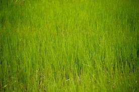 Reeds, Blue Rocks, NS