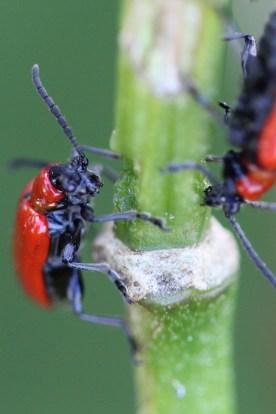 Beetles feeding on flower stem, Gorham, NH