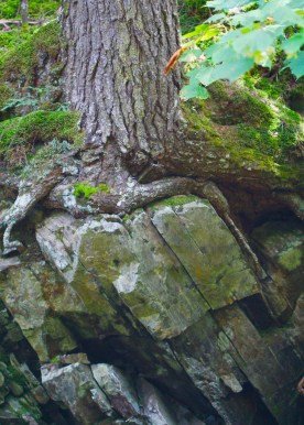 Tree roots on angled bedrock, Randolph, NH