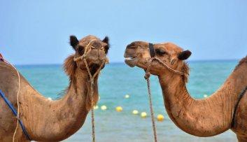 kamel-billede