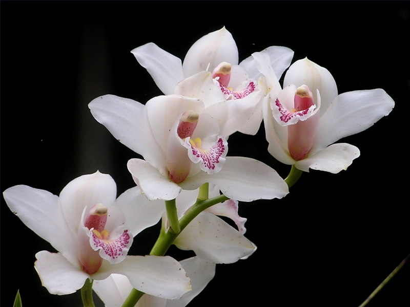 The Meaning of Blue Orchids  eHow