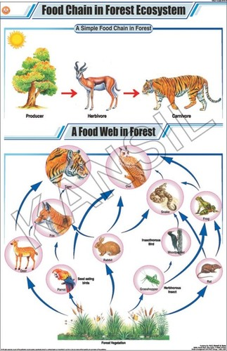 african elephant food chain diagram bathroom fan with timer wiring engine web doobclub com in forest ecosystem chart manufacturer supplier rh nckansil