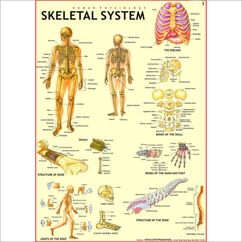 concept map skeletal system diagram bathroom fan light switch wiring human anatomy charts exporter manufacturer distributor supplier chart