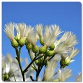 Saltbush_(Baccharis_halimifolia)_(8151781706) copy