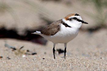 http://nature22.com/estran22/ oiseaux/oiseauxlimicoles.html