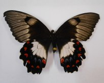 orchard-swallowtail-top