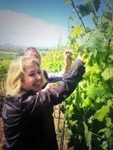 """@nanopausa alle prese con la """"scacchiatura"""" delle uve di San Giovese"""