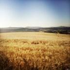 i campi di grano dorato che circondano il B&B