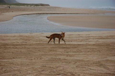 Mind the dingo!