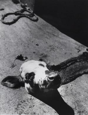 2. Severed calf's head
