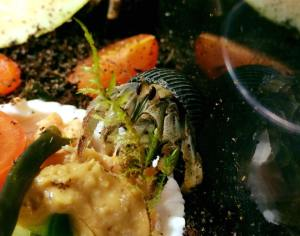 Coenobita compressus enjoying fish, peanut butter and veggies - Photo by Amber Miner