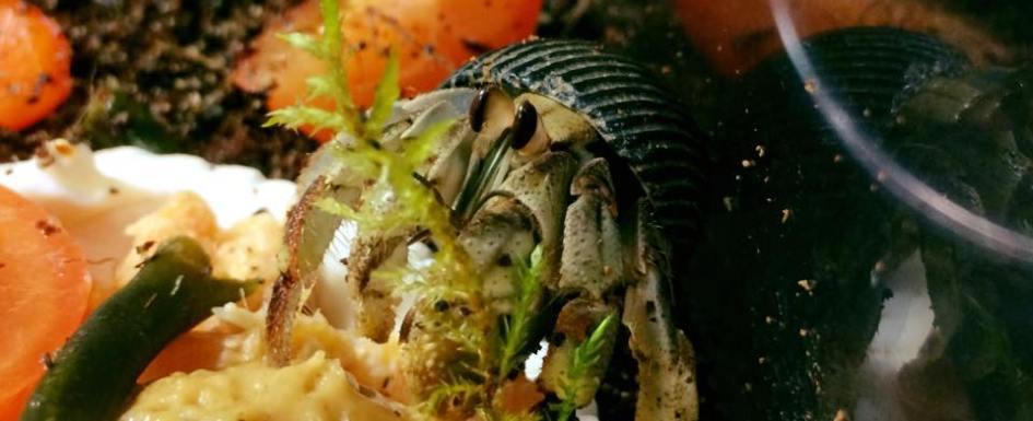Coenobita compressus enjoying fish, peanut butter and veggies - Photo by Amber Miner