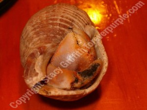 Hermit crab with black spot shell disease