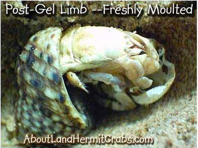 Hermit crab gel limb regeneration fresh molt