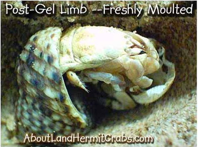 Hermit crab gel limb regeneration fresh molt
