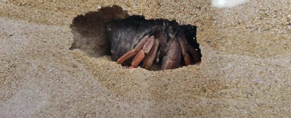 A hermit crab building it's molting burrow. Photo Credit Matt Steele