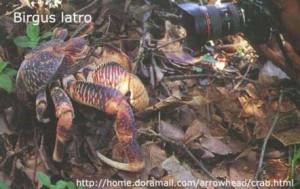 Birgus Latro