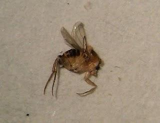 Phoridfly
