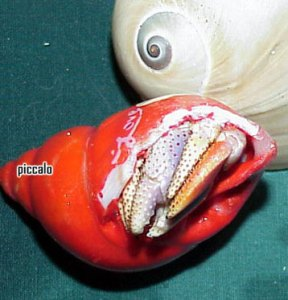 Hermit crab stuck in shell