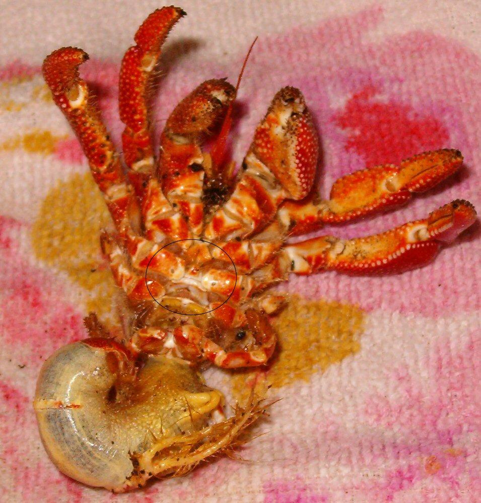Hermit crab gonopores