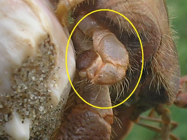 Coenobita abdomenal appendages