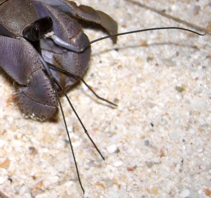 Coenobita antennae