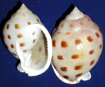 Cassispilia not an ideal shell due to the long narrow opening and rough edges