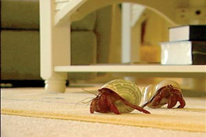 Jonathan Livingston Crab and Crab Kate roam free through Carol Ann's home.