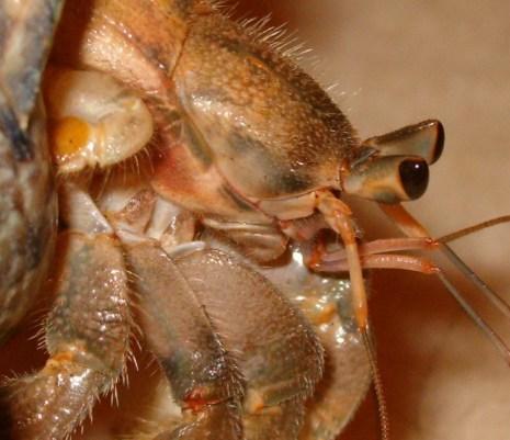 Coenobita mouth mandibles maxillipeds