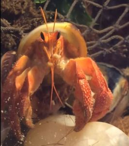 Coenobita perlatus grooming itself - Photo by Stacy Spangler of Isopod Connection