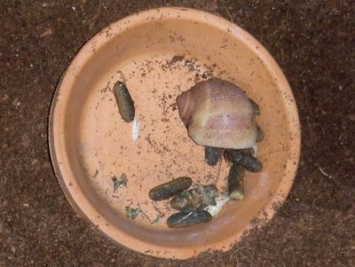 Compressus eating guinea pig feces