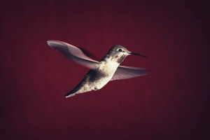 Hummingbird on red backdrop