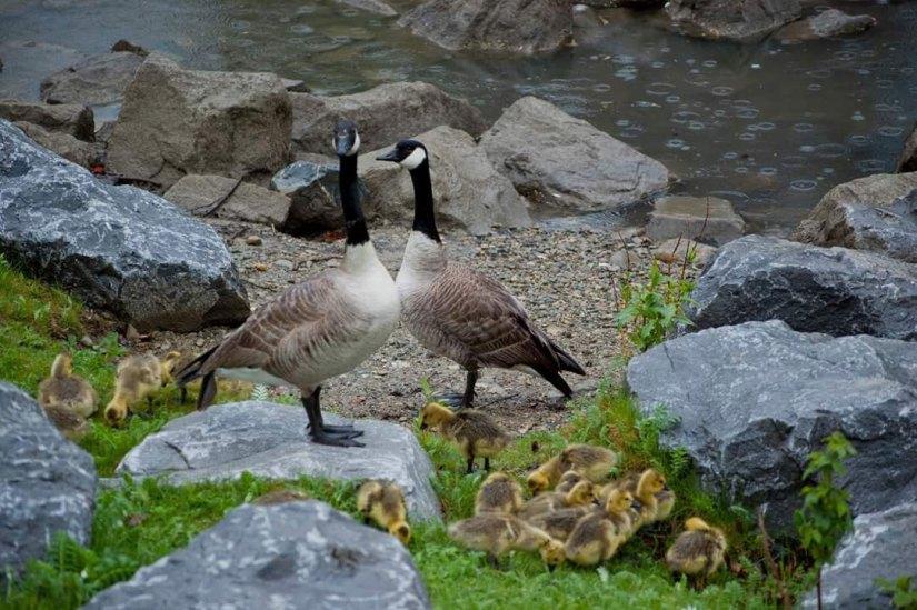 Birds Prince's Island Canadian Geese