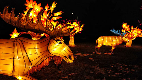 Calgary Zoo Lights Moose