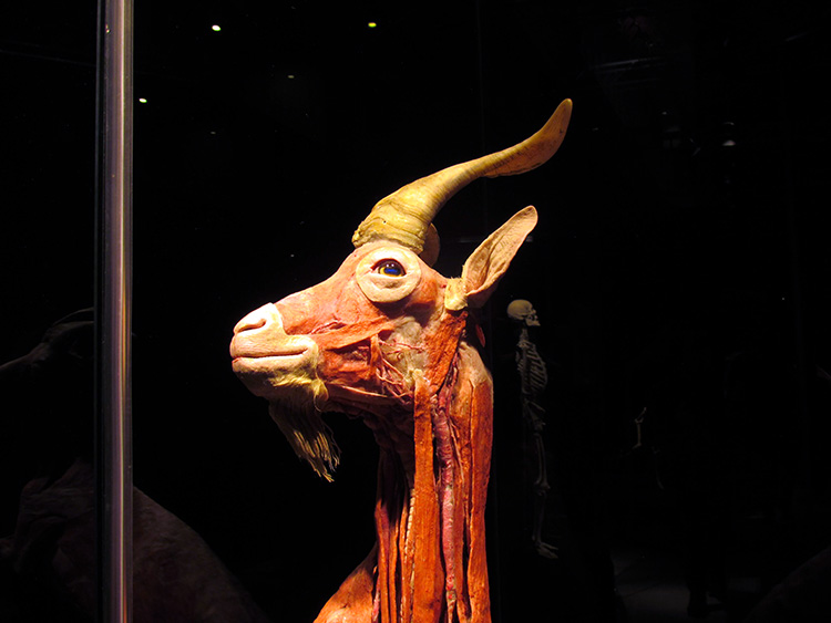 TELUS Spark BODY WORLDS Animal Inside Out Goat