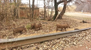 Warthogs inspect the MTB trail