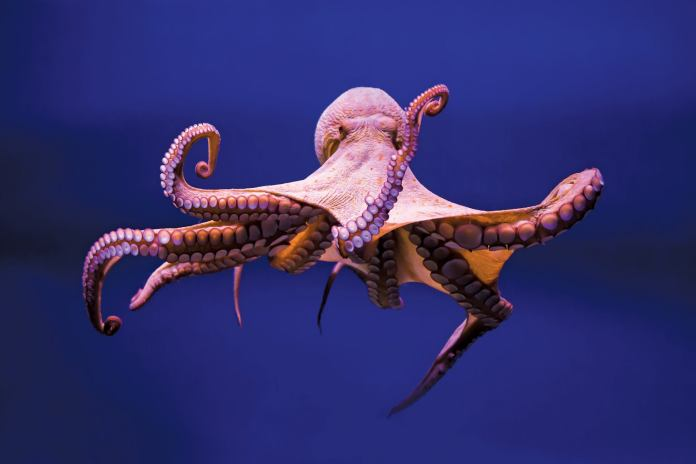 octopus arms has mind of their own
