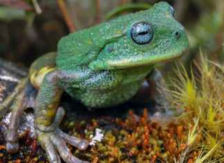 Peruvian Amazon jungle home for Marsupial Frog, New species of frog