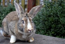 'Darius' The Guinness World Record's Biggest Rabbit Stolen From Home - Craffic