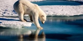 Polar Bear Extinction Is Just Around The Corner