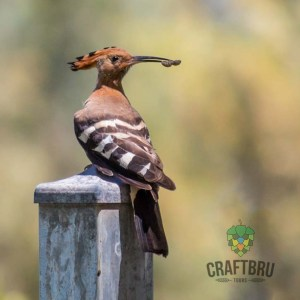 Hoopoe - Good Looking Bird, Private Craft Beer Tours