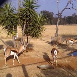 Springbok and his harem