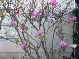 magnolias.